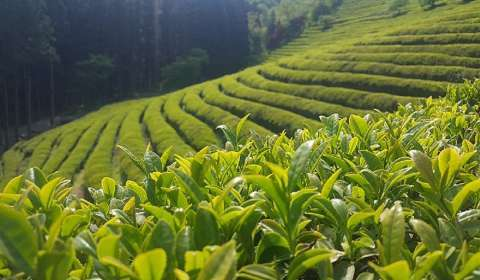 Patanjali Signs Research MoU with Tocklai Tea Research Institute