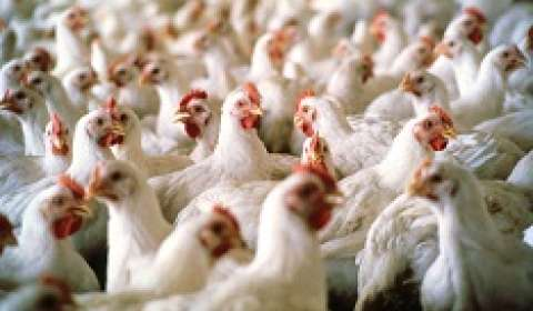 Amrit Group to foray into 'Hy-line' layer breed chicken